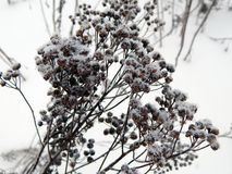 在雪下的植物在冬天 库存照片