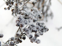 在雪下的植物在冬天 免版税图库摄影