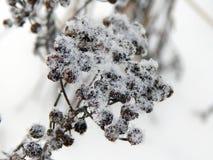 在雪下的植物在冬天 免版税库存照片