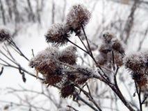 在雪下的植物在冬天 库存图片