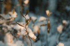 在雪下的植物 免版税库存图片