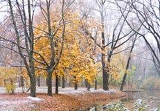 在雪下的槭树 库存照片