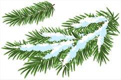 在雪下的毛皮树分支 免版税库存图片