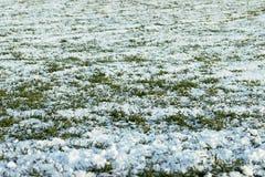 在雪下的熔化的雪年轻麦子 免版税库存图片