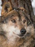 在雪下的狼画象 免版税图库摄影