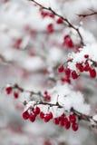 在雪下的红色冬天莓果 免版税库存图片