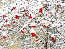 在雪下的红色花楸浆果 库存图片