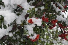 在雪下的红色莓果12月在我的庭院里 免版税库存照片