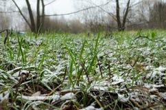 在雪下的绿草 免版税库存图片