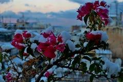 在雪下的美丽的小桃红色花 免版税库存图片