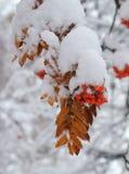 在雪下的花揪 冬天射击 免版税库存照片