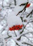 在雪下的花揪 冬天射击 库存照片