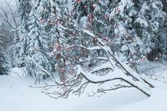在雪下的花揪 库存照片