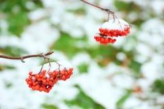 在雪下的花楸浆果 免版税库存照片