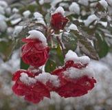 在雪下的英国兰开斯特家族族徽 库存照片