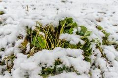 在雪下的草莓布什 库存照片