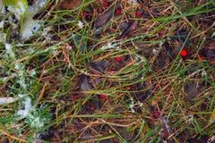 在雪下的草 积雪的庭院在早期的冬天 库存图片