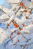 在雪下的莓果 免版税库存图片