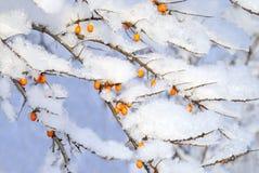 在雪下的莓果 图库摄影