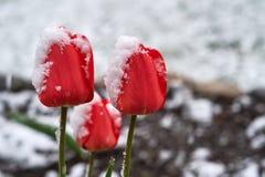 在雪下的郁金香 库存图片
