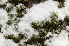 在雪下的青苔 库存照片