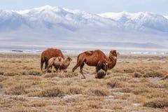 在雪下的骆驼 免版税库存照片