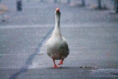 在雪下的鹅 库存照片