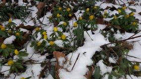 在雪下的黄色花 免版税库存图片