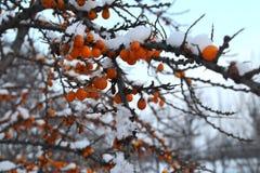 在雪下的鼠李莓果 库存照片