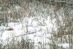 在雪下的水在干燥芦苇中 库存图片