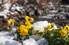 在雪下的紫罗兰 库存照片