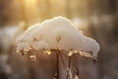 在雪下的冻花 库存照片