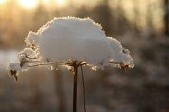 在雪下的冻花 免版税库存照片