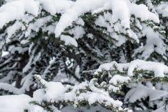 在雪下盖帽的云杉的分支  免版税图库摄影