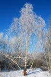 在雪之下的桦树 免版税库存照片