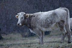 在雪之下的母牛 库存图片