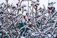 在雪之下的玫瑰果 免版税库存照片