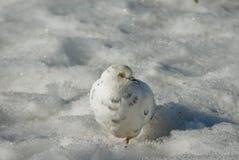 在雪伪装的白色鸠 库存图片