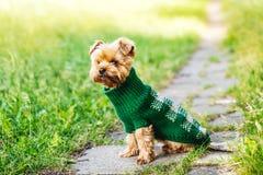 在雪佩带的使用的约克夏狗在公园 免版税图库摄影