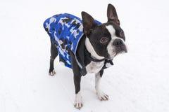 在雪佩带的夹克的波士顿狗 免版税库存照片