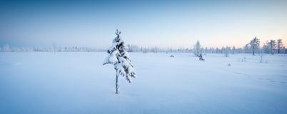 在雪冬天森林里选拔新年杉树在蓝色口气全景 免版税库存图片