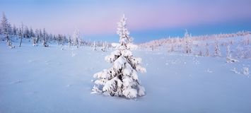 在雪冬天森林里选拔新年杉树在蓝色口气全景 免版税图库摄影
