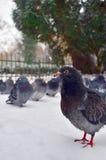 在雪冬天自然野生生物的鸽子 免版税图库摄影