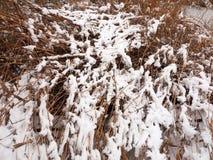 在雪冬天12月背景中盖的外部湖芦苇 图库摄影