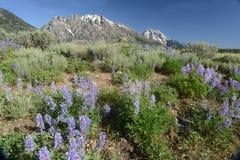 在雪前景的紫色凶猛绽放加盖了山。 免版税图库摄影