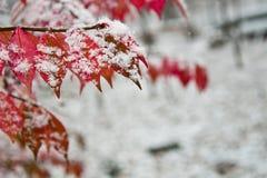 在雪包括的秋天叶子 库存图片