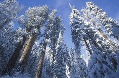 在雪包括的红木, 库存照片