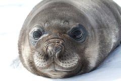 在雪南极州的画象小狗南部的海象 免版税图库摄影