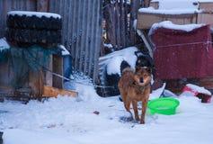 在雪原的一条狗 免版税库存图片