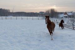 在雪原的两匹连续马 库存图片